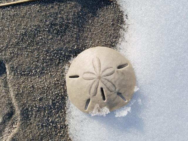 SandDollarFebruary